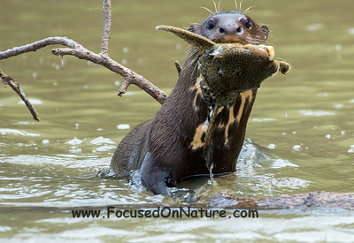 Giant Otter with Lunch