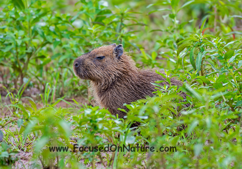 Little Capybara