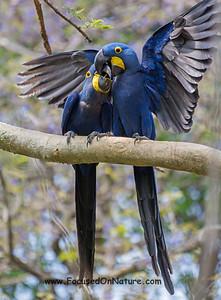 Hyacinth Macaws Bonding