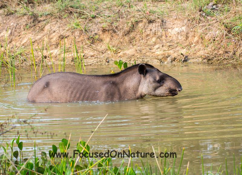 Tapir Jacuzzi