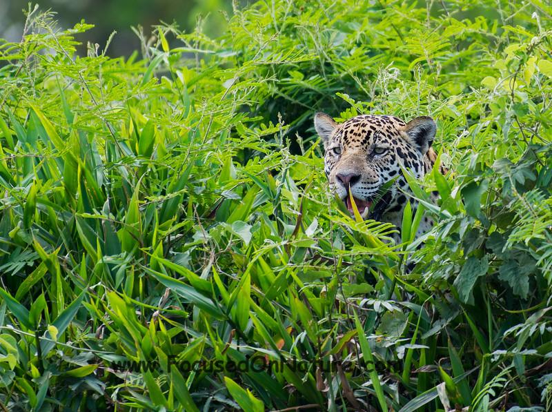 Jaguar Scouting