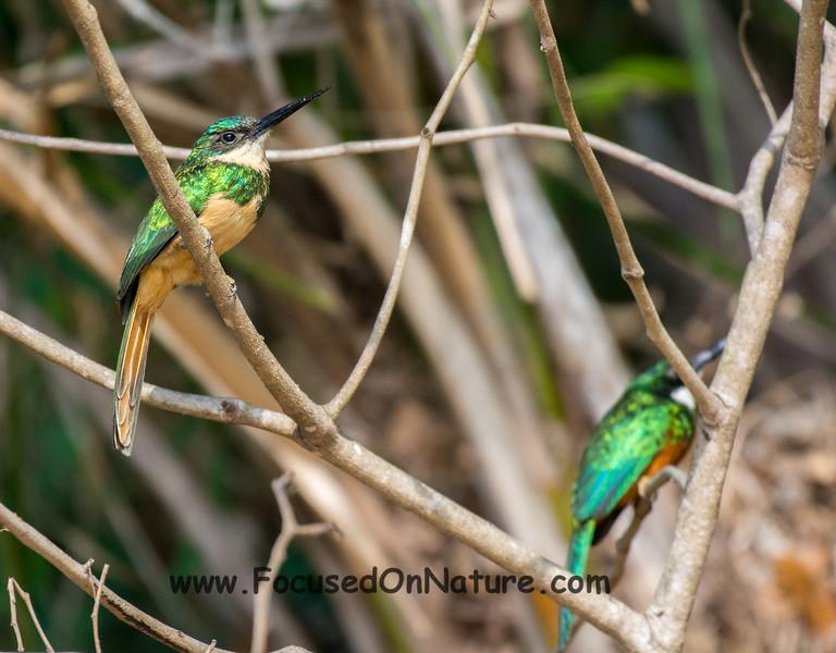 Rufous-tailed Jacamar Pair