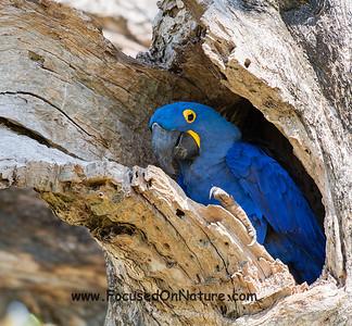 Macaw Nesting Hole