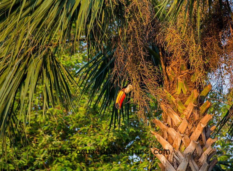 Toucan in a Palm Tree