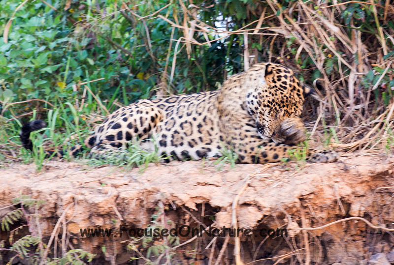 Jaguar Bathing