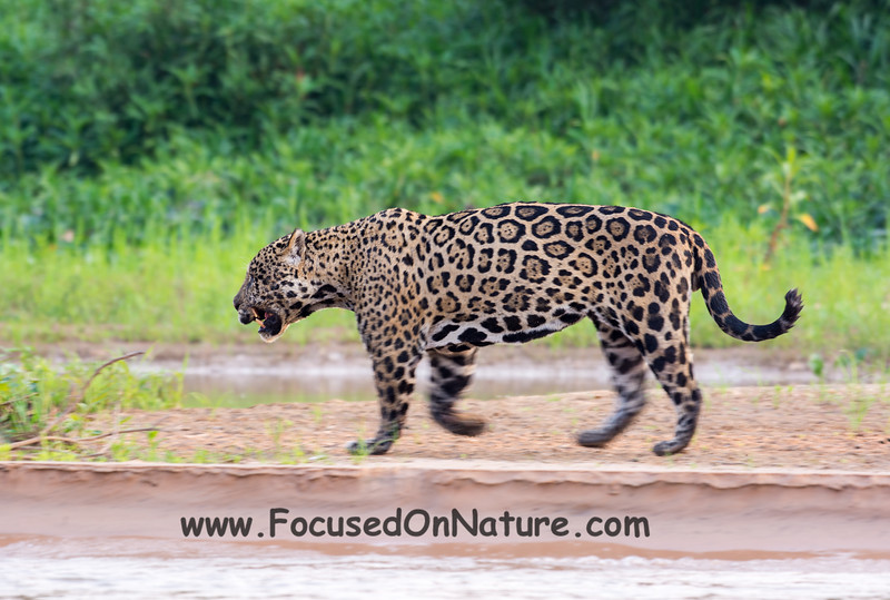 Our 2nd Jaguar Sighting