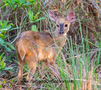 Juvenile Red Brocket Deer