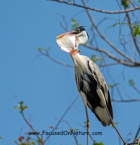 Cocoi Heron with Breakfast