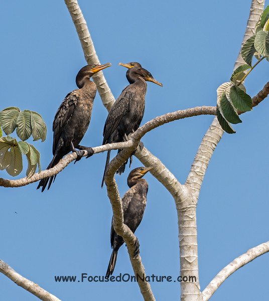 Neotropic Cormorants