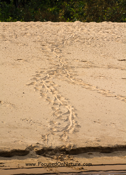 Caiman Tracks