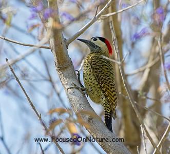 Green-barred Woodpecker