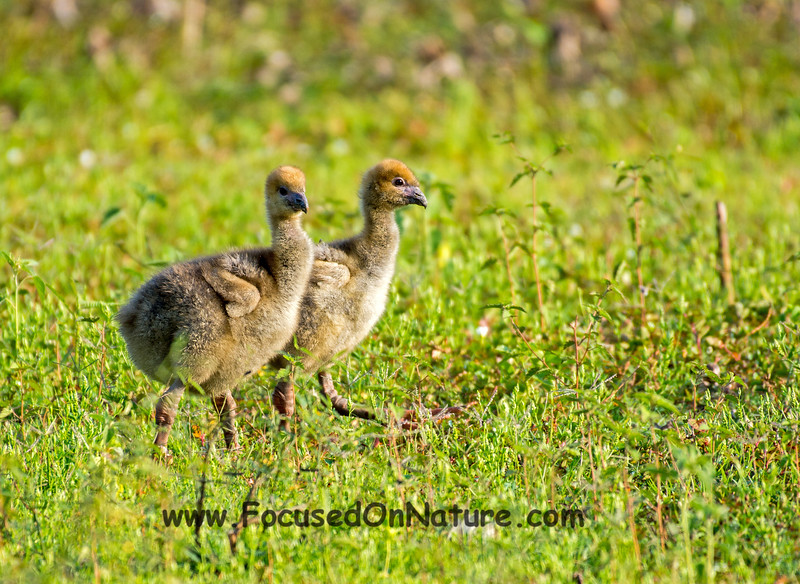 Southern Screamer Chicks