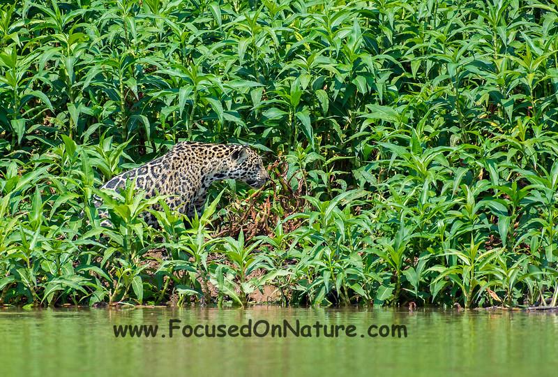 Jaguar Sighting #8
