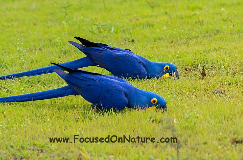 Hyacinth Macaws Drinking