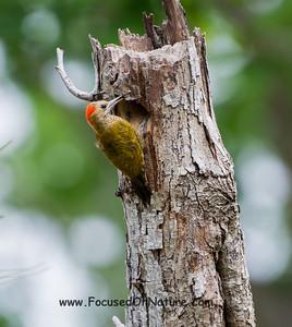 Little Woodpecker