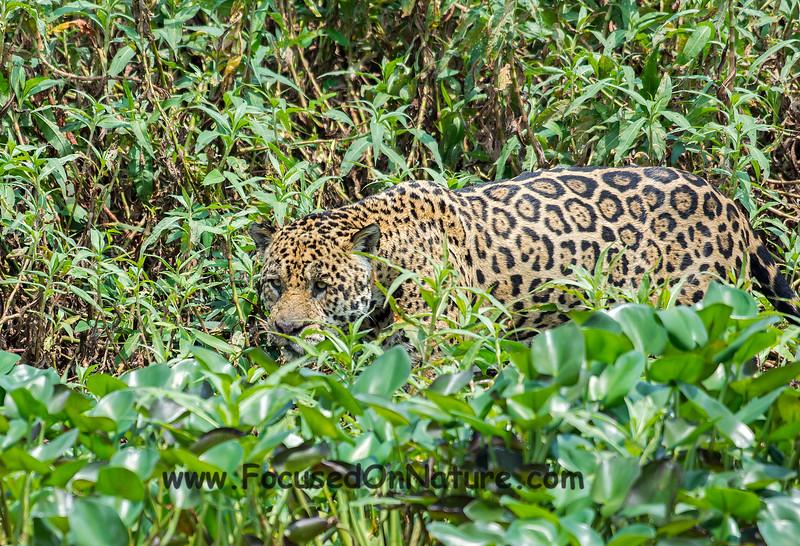 Jaguar Sighting #3