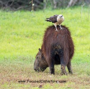 """Capybara with """"Bug Collector"""""""