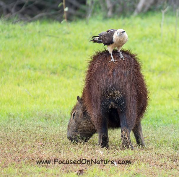 Capybara with