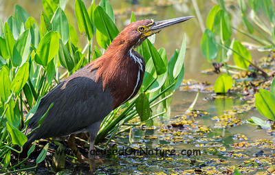 Refuscent Tiger Heron
