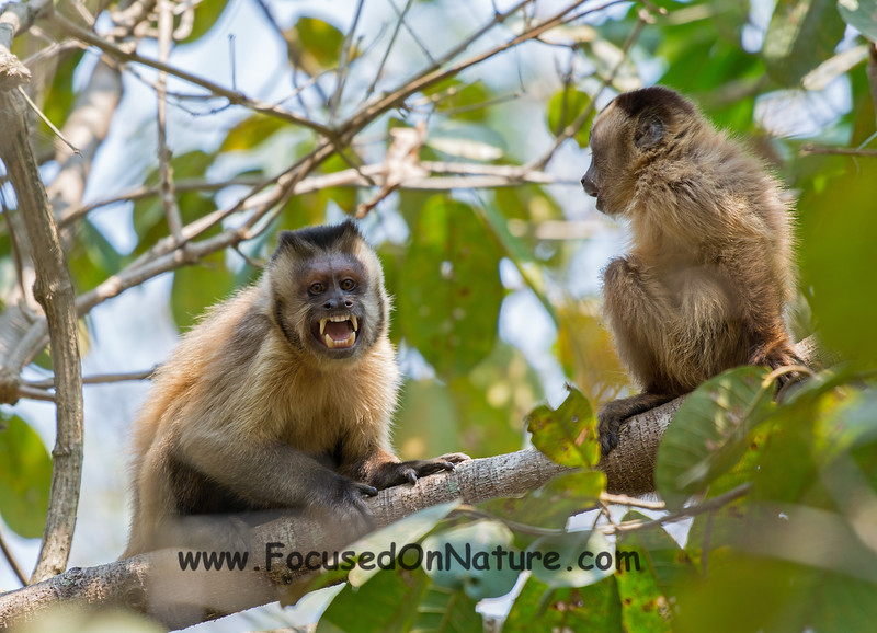 Angry Brown Capuchin