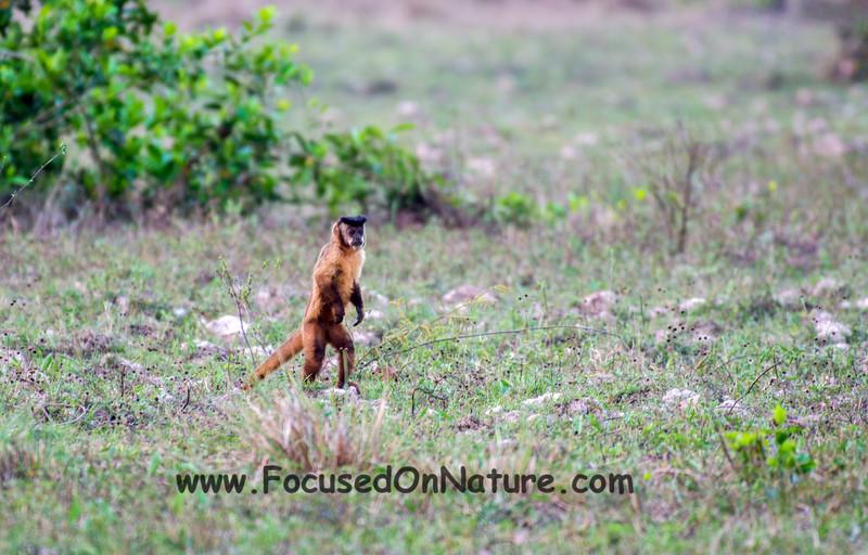 Capuchin Scout