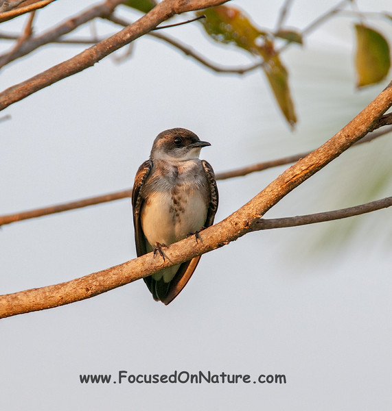 Brown-crested Martin