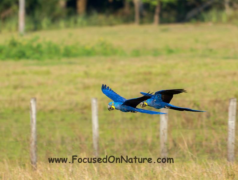 Hyacinth Macaws in Flight