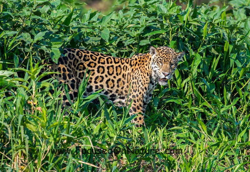 Jaguar Sighting #10