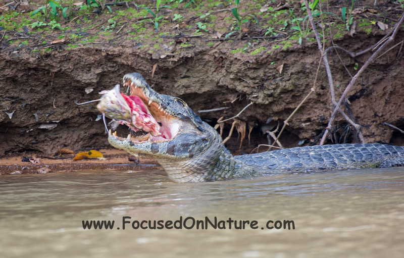 Spectacled Caiman with Lunch