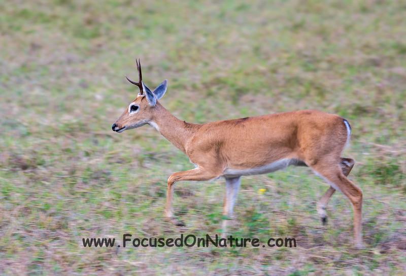 Male Pampas Deer
