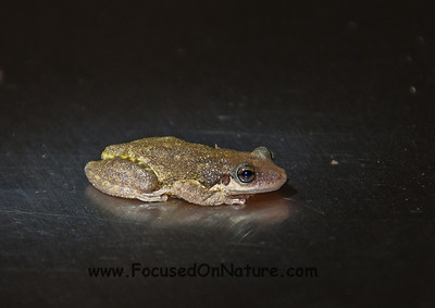 Lesser Snouted Tree-Frog