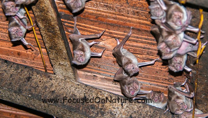 Vampire Bats!