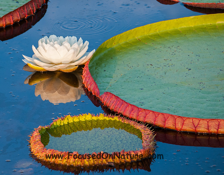 Giant Lilypad Bloom