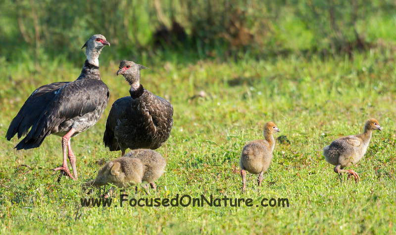 Southern Screamer Family