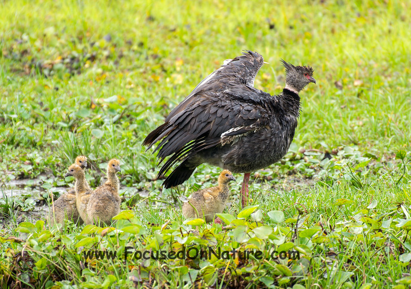 Southern Screamer with Chicks