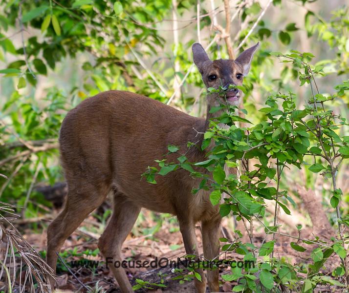 Gray Brocket Deer