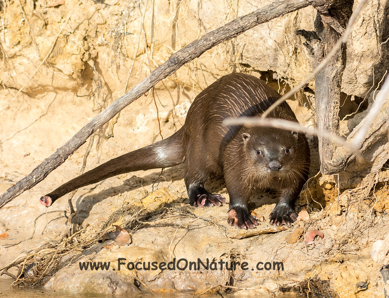 Neo Tropical River Otter