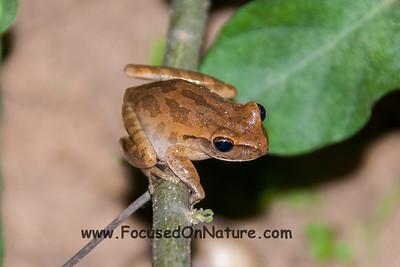 Chaco Tree Frog