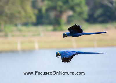 Hyacinth Macaw Flyby