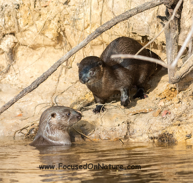 Neo Tropical River Otters
