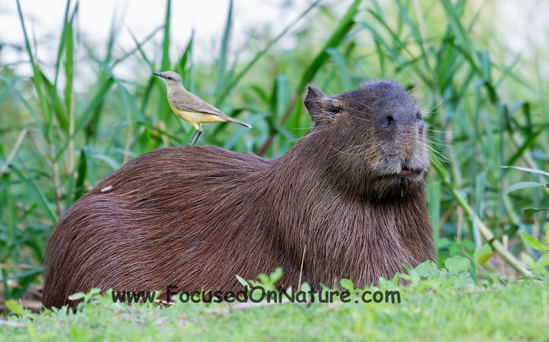Capybara and Friend