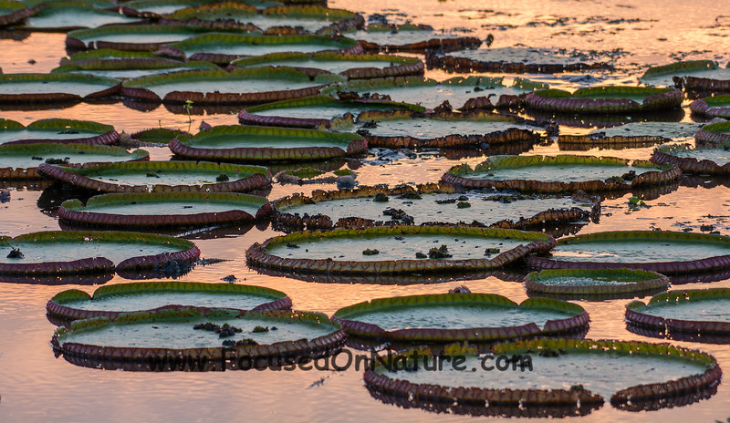 Giant Lilypads