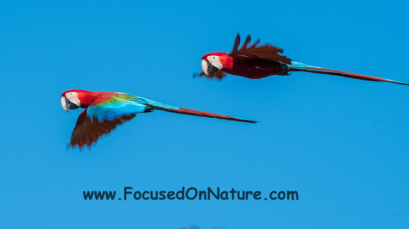 Red and Green Macaw Flyby