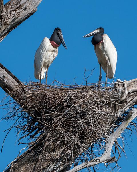 Nesting Jabiru Pair