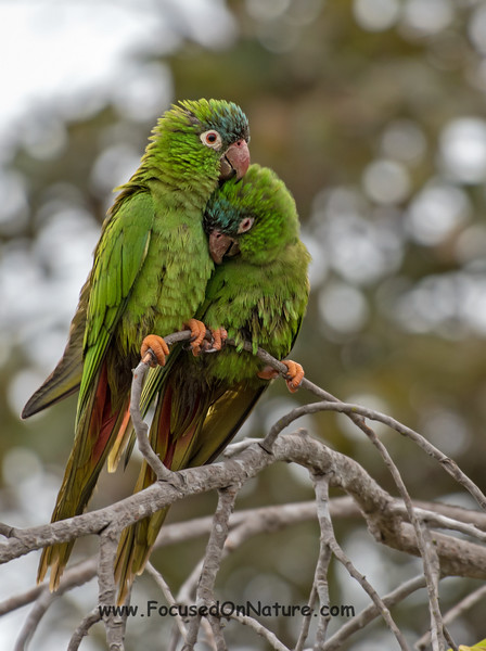 Blue-crowned Parakeets Huddling in the Rain