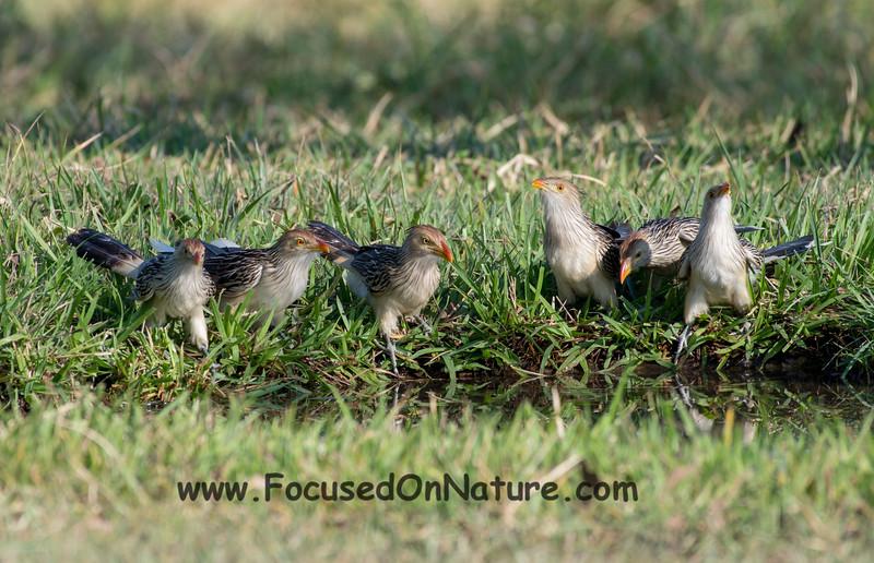 Guira Cuckoos Drinking