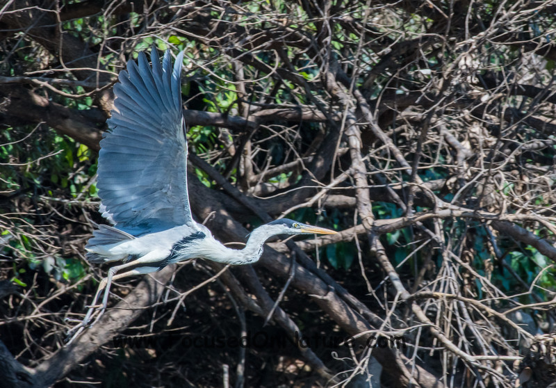 Disturbing a Cocoi Heron