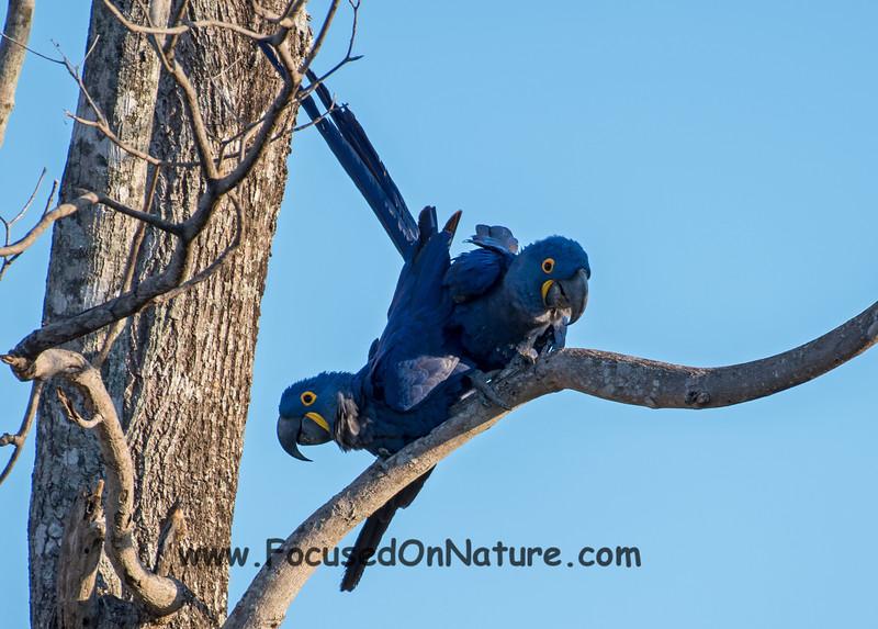 Mating Hyacinth Macaws