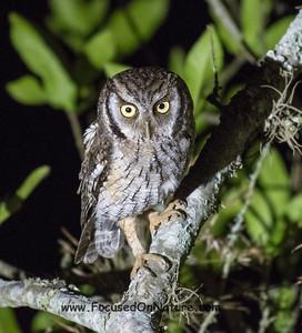 Tropical Screech Owl