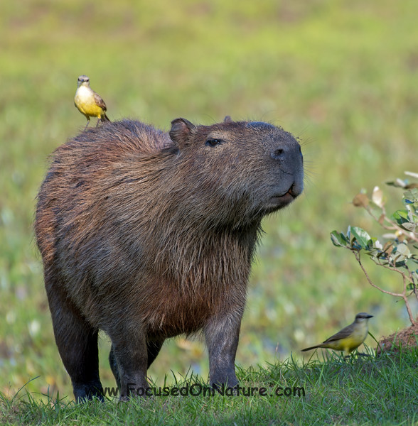 Capybara and Cattle Tyrant